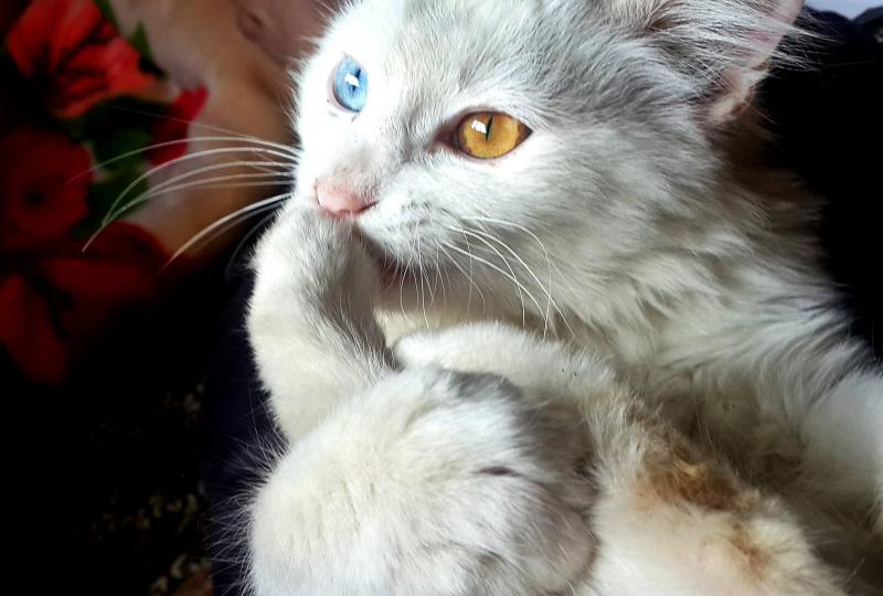 Kölyök macska befogadása, megvétele