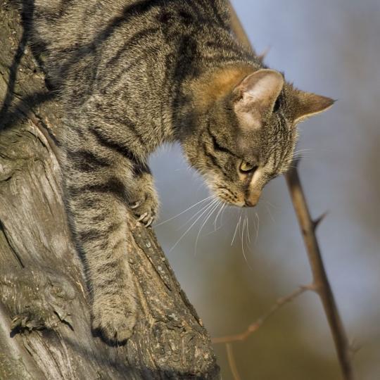 Miért esik mindig a talpára a macska?