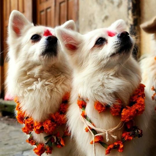 Nepáli kutya fesztivál, avagy a Kukur Tihar Fesztivál