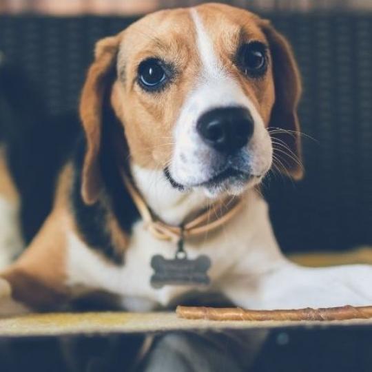 Kutyák oltásai