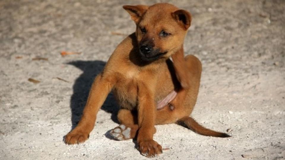 Kutya bolha