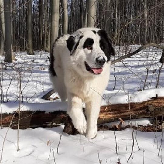 Bukovinai pásztorkutya