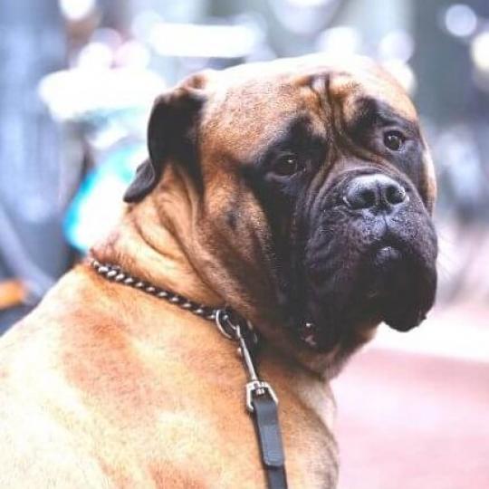 Diszplázia kutyáknál - Fajtabetegségek