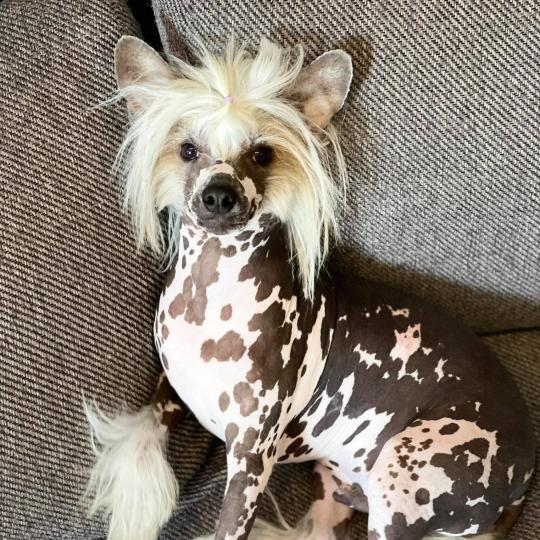 Kínai meztelen kutya