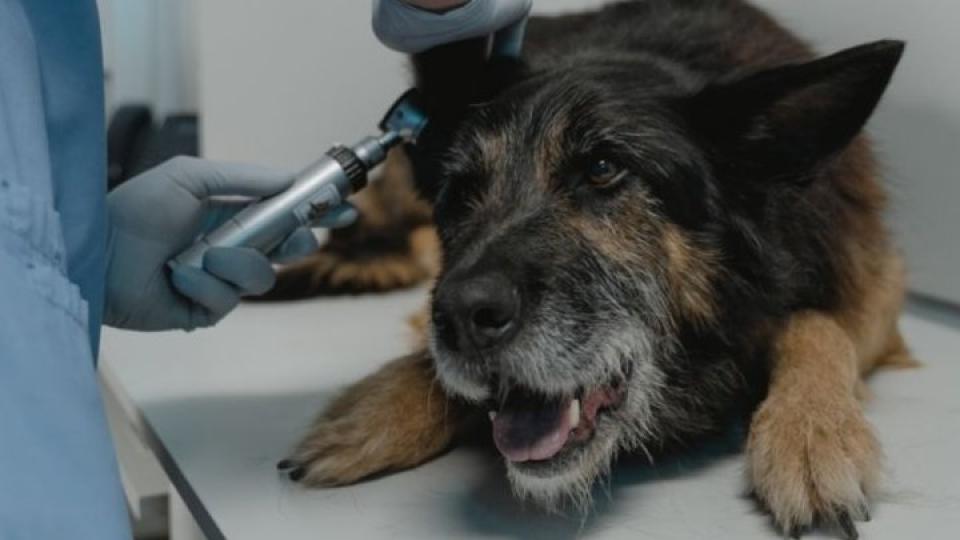 Kutyák fülgyulladása