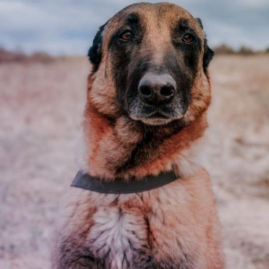 Gyomorcsavarodás kutyáknál