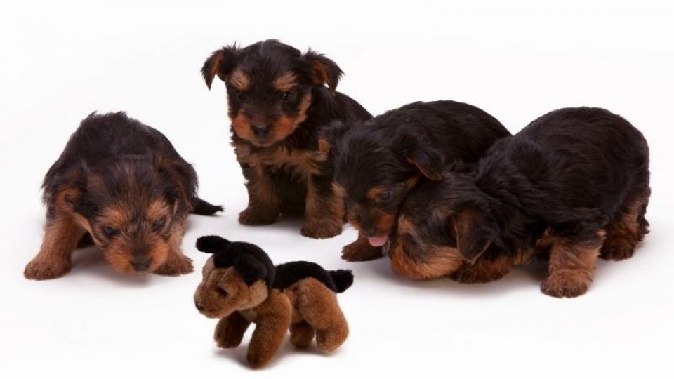 Féreghajtás kutyáknál