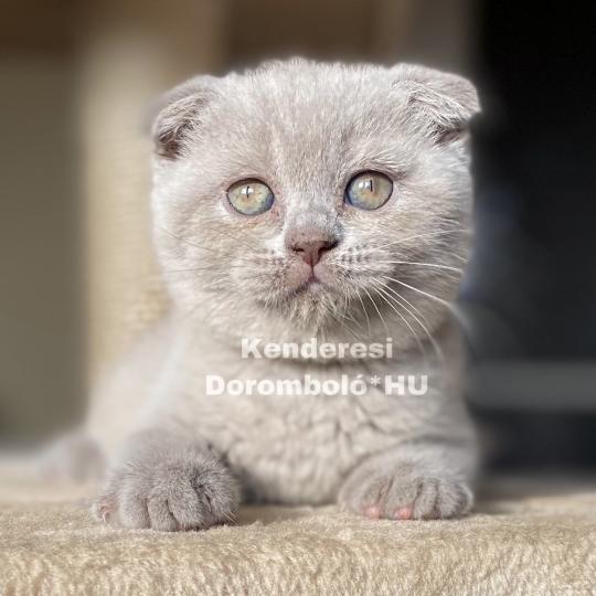 Skót lógófülű macska