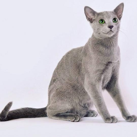 Orosz kék macska