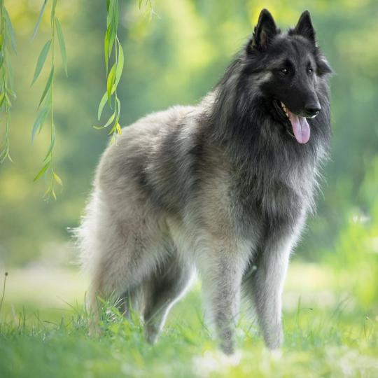 Belga juhászkutya