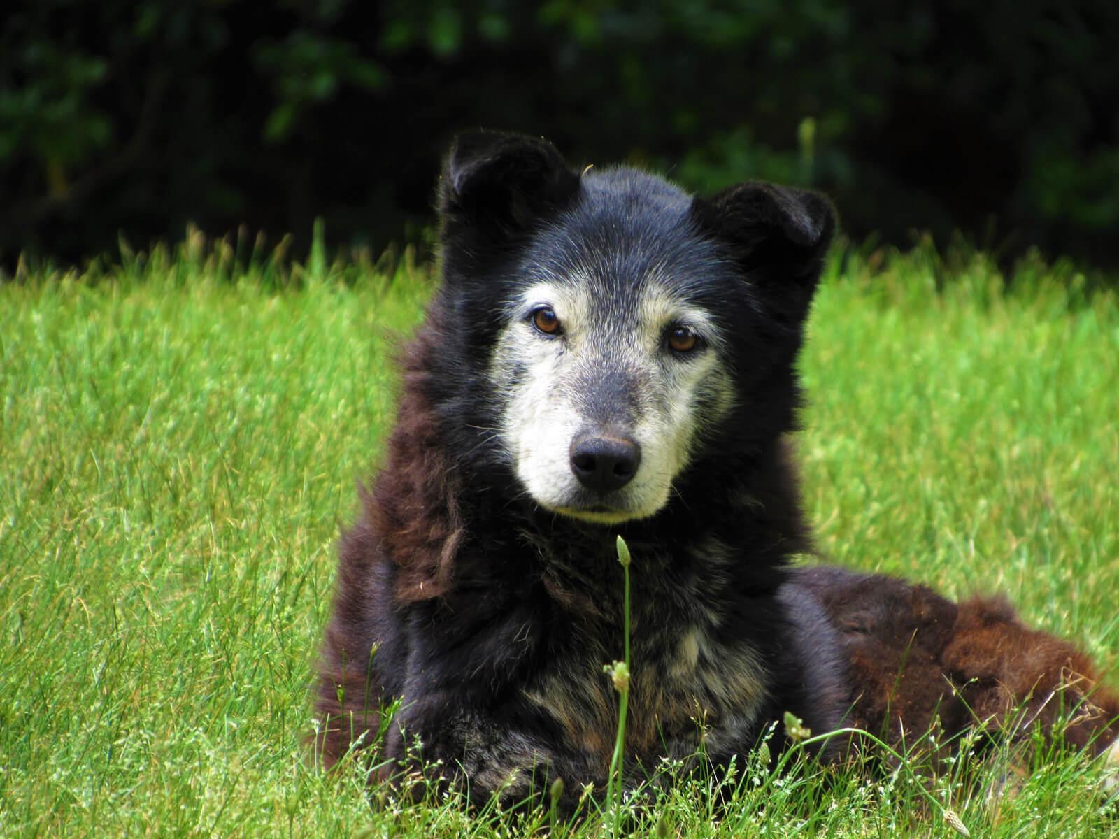 Őszülő kutya