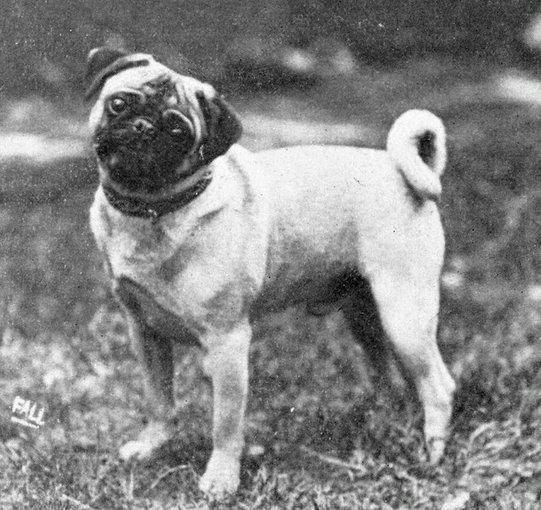 1915. Mopsz fénykép