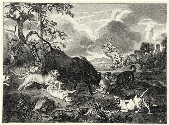 Bulldogok támadnak bikára