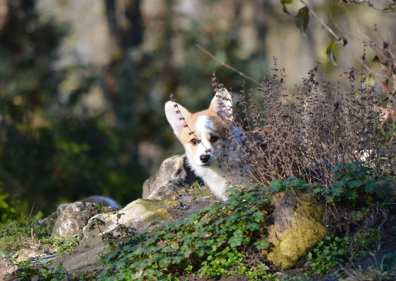Corgi kutya az erdőben