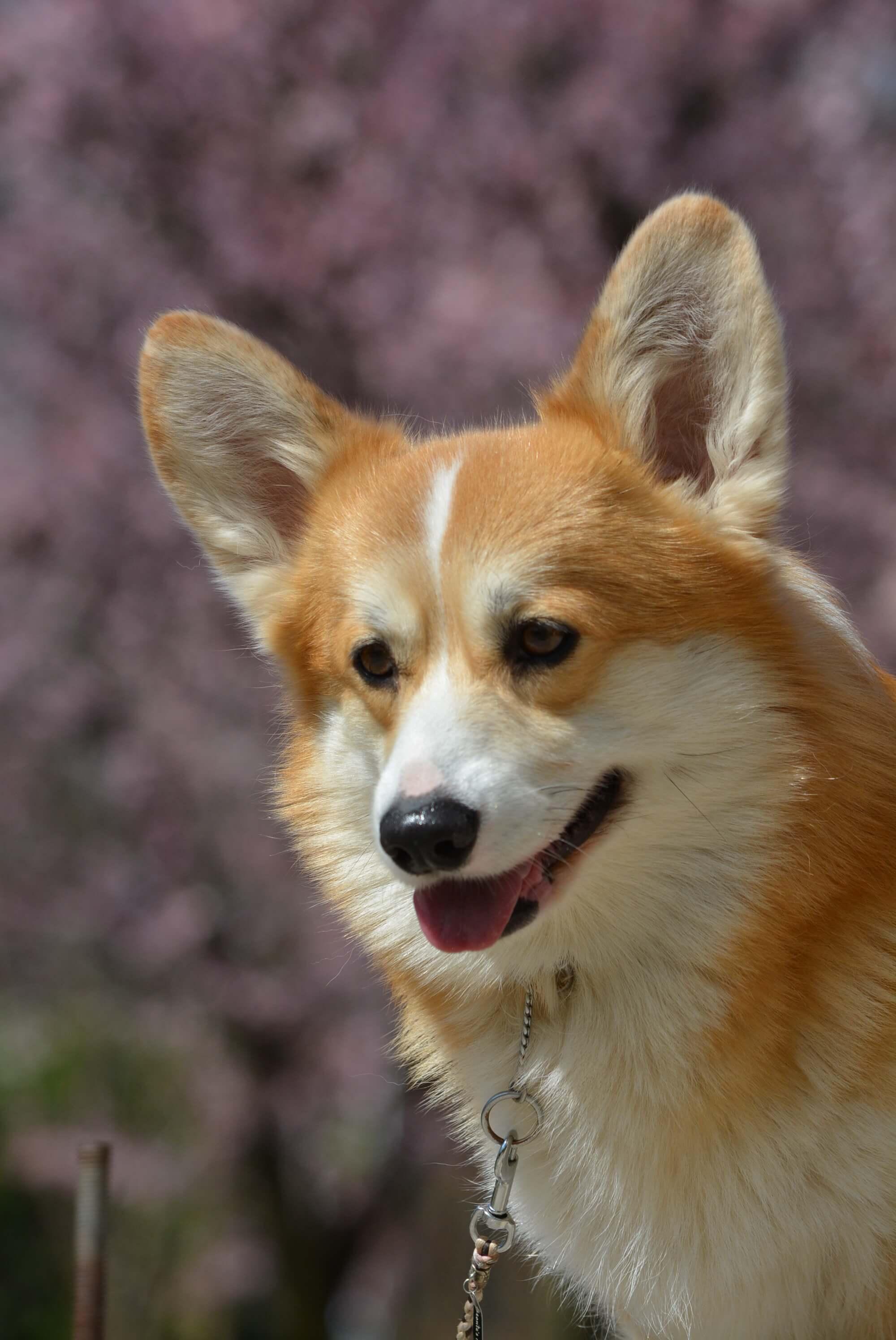 Corgi kutya