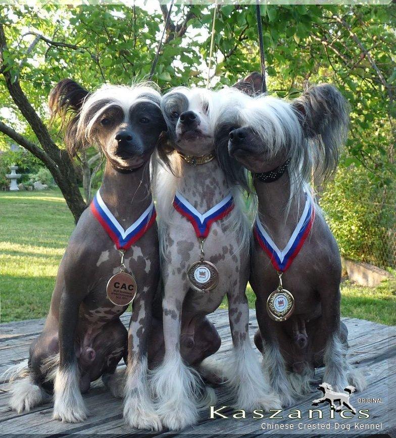 3 kiállítás győztes meztelen kutya