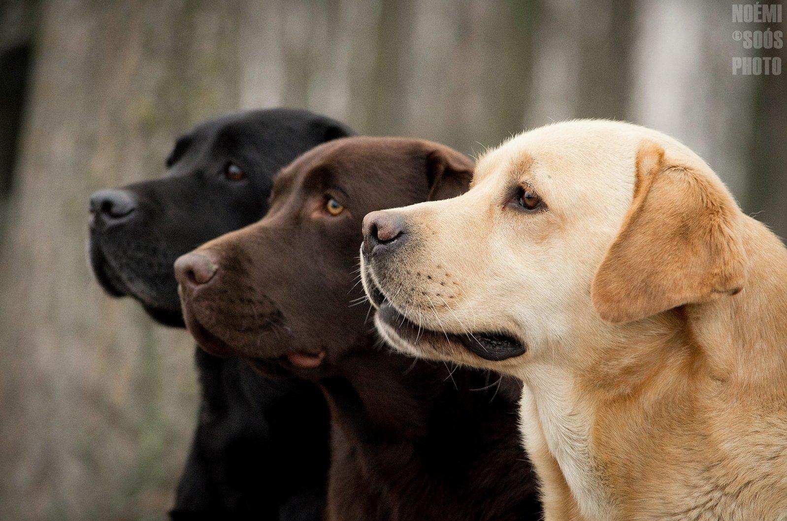 3 különböző színű labrador profilból
