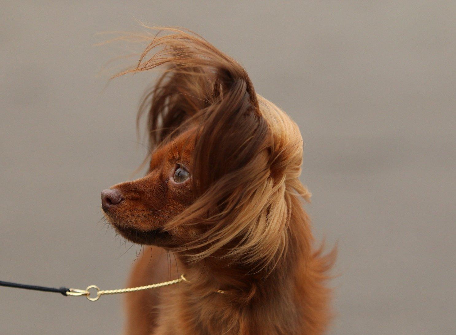 Orosz toy kutya profilból
