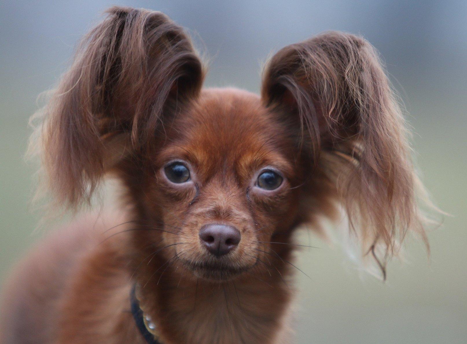 Barna orosz toy kutya szemből