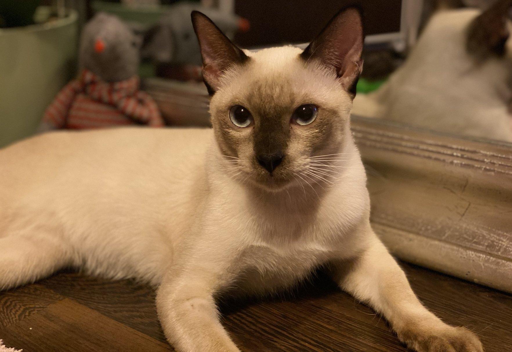 A Sziámi macska mai Európában elterjedt fajtája