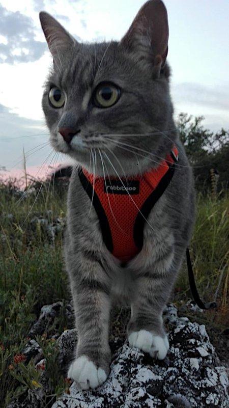 Kiránduló cica, hámban