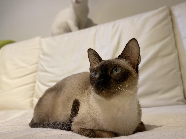 Sziámi macska párnák között