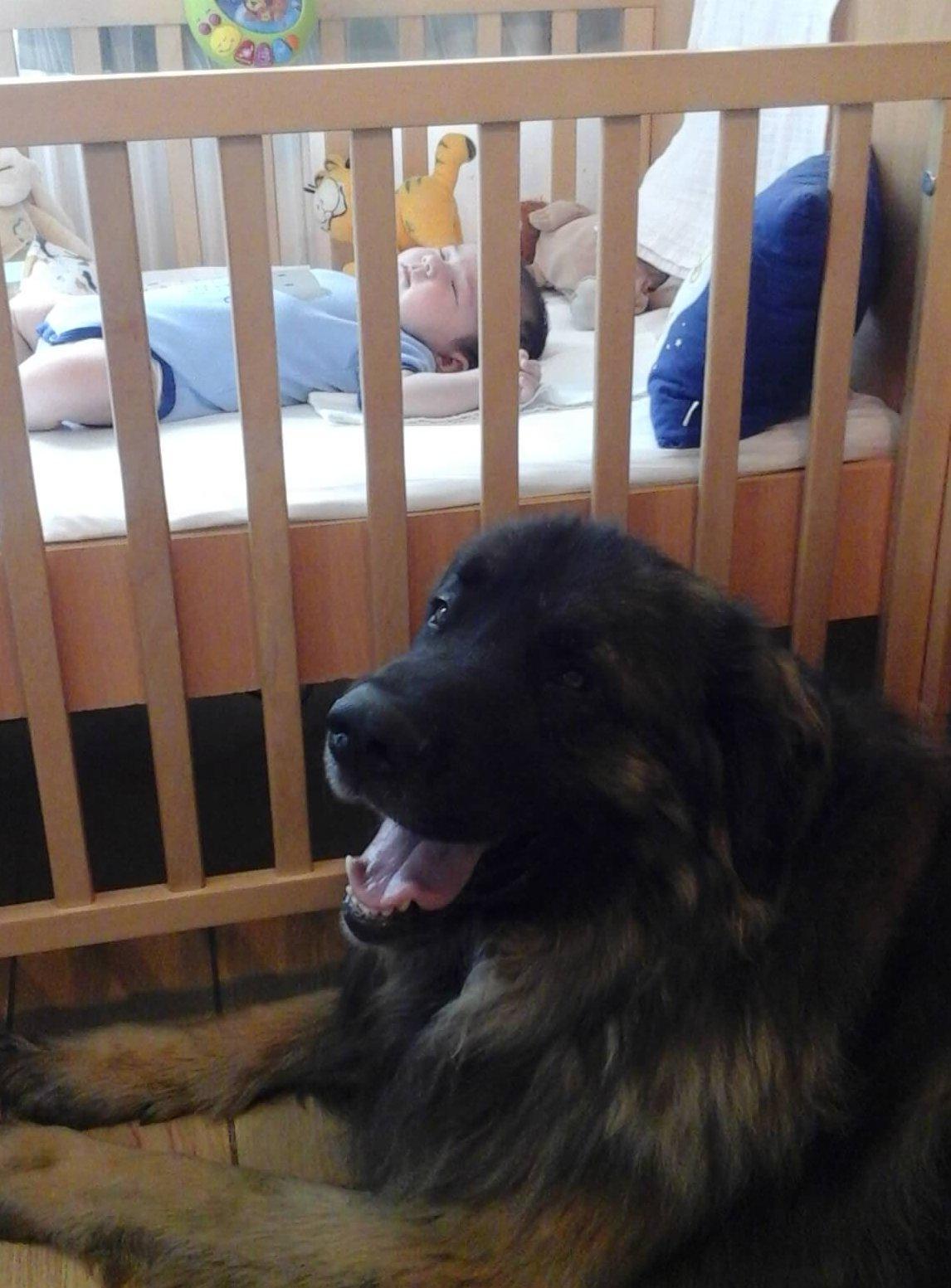 Leonbergi őrzi a csecsemőt