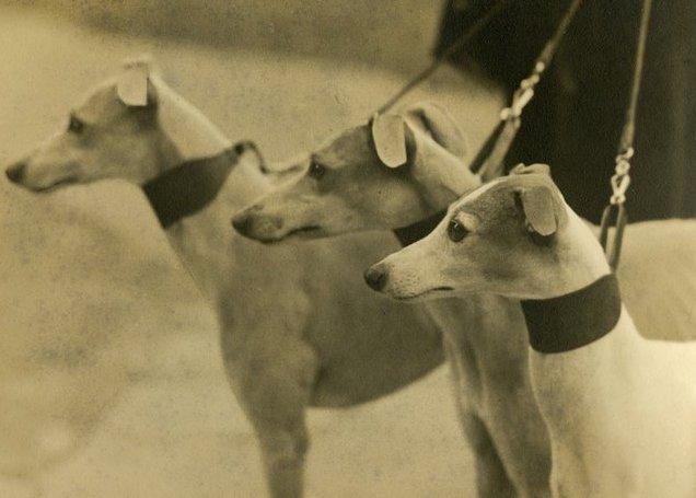 1941-es fotó whippetekről