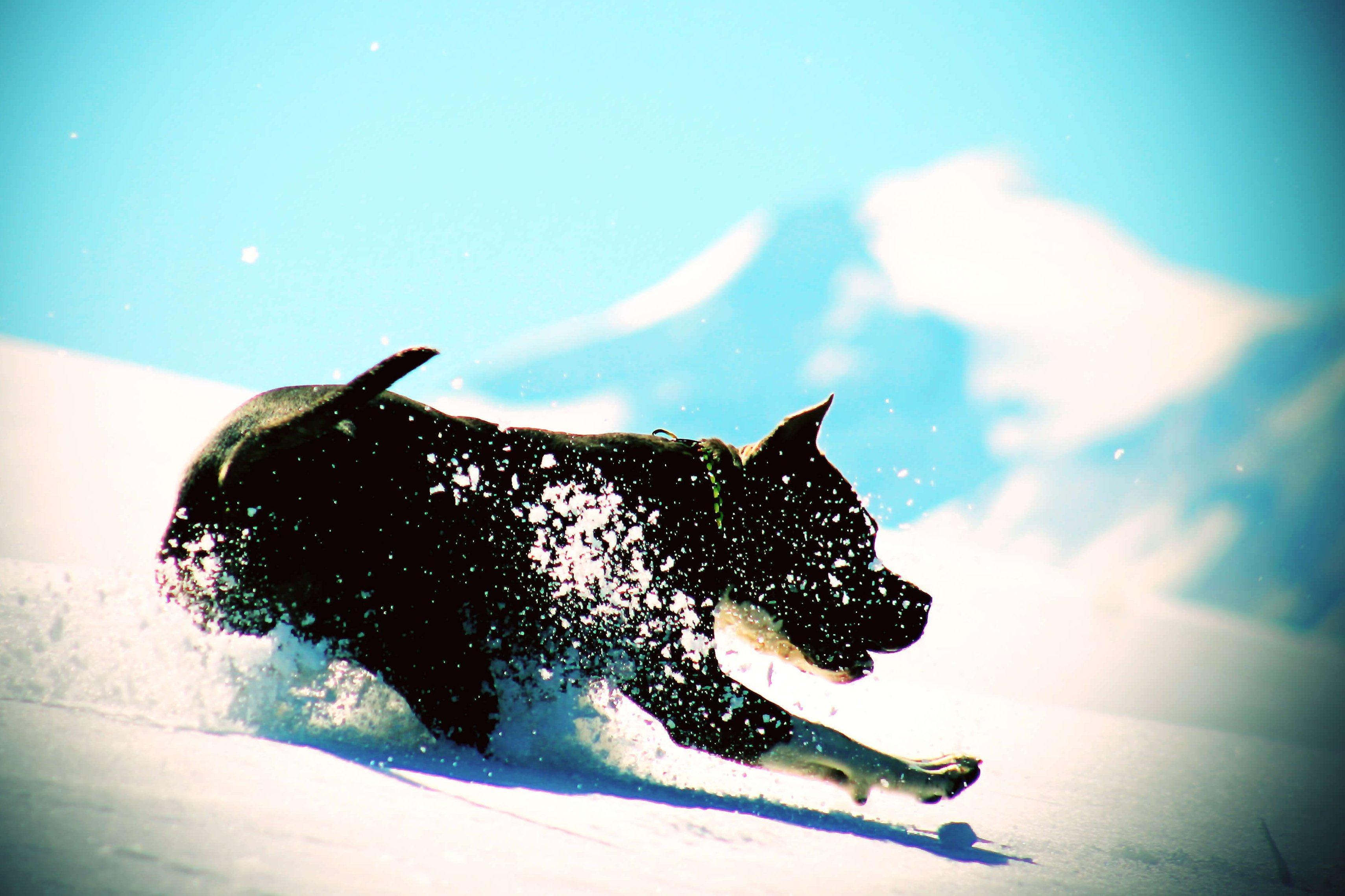 Amerikai staffordshire terrier Labdázik a hóban