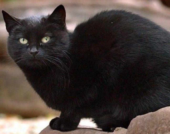 Blackie richest cat forrás: landofcats.net