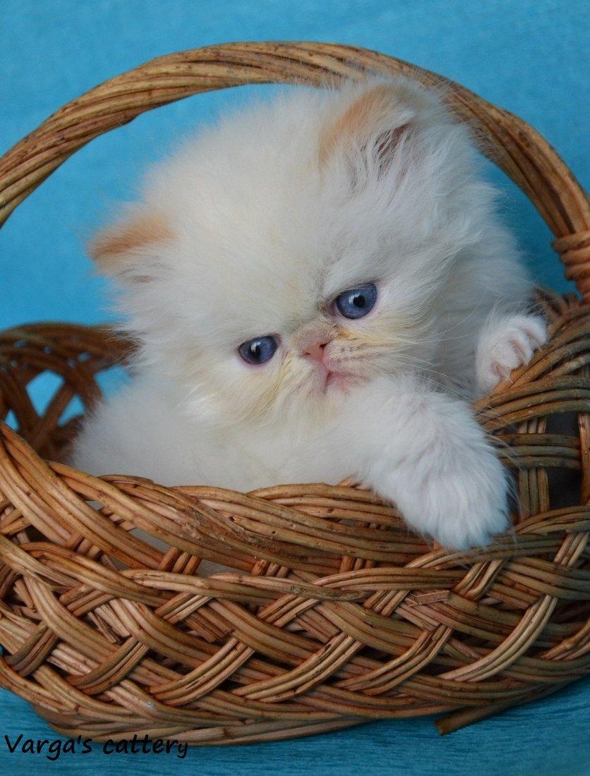 Vörös Himalája macska kölyök