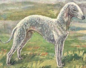 Bedlington terrier ábrázolás