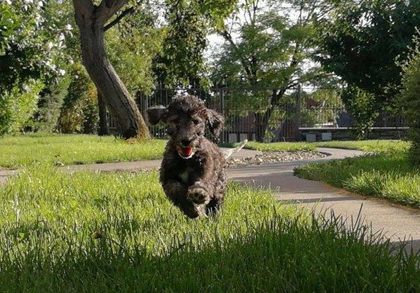 Szaladó Bedlington terrier