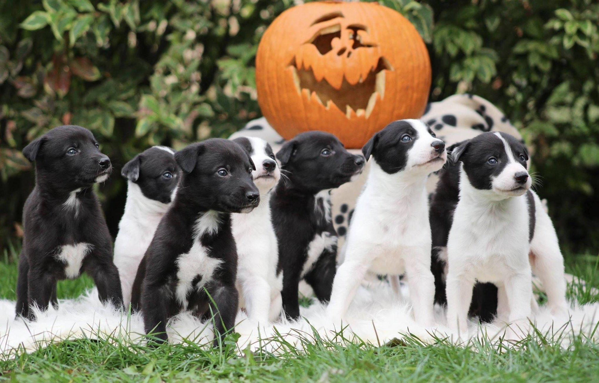 Kölyökkutyák halloween tökkel