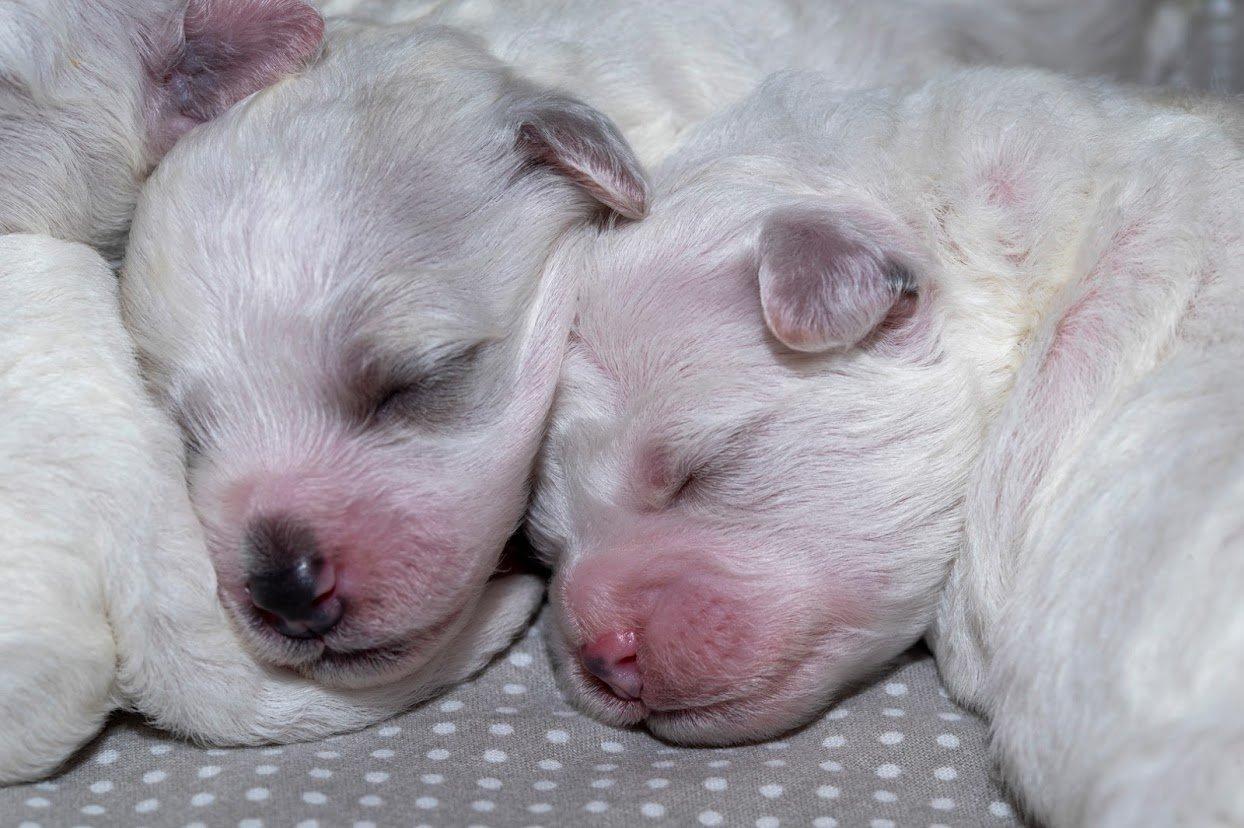 Alvó kis kutyák