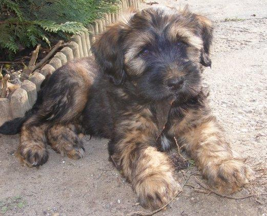 Tibeti terrier kölyök