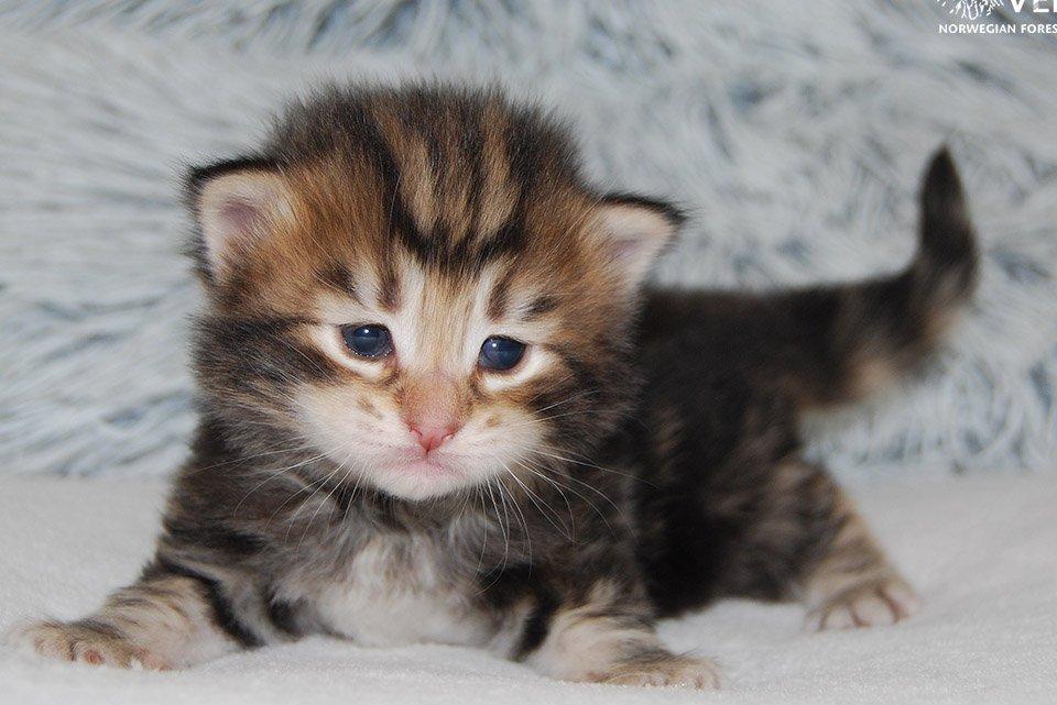 Újszülött norvég erdei kis macska