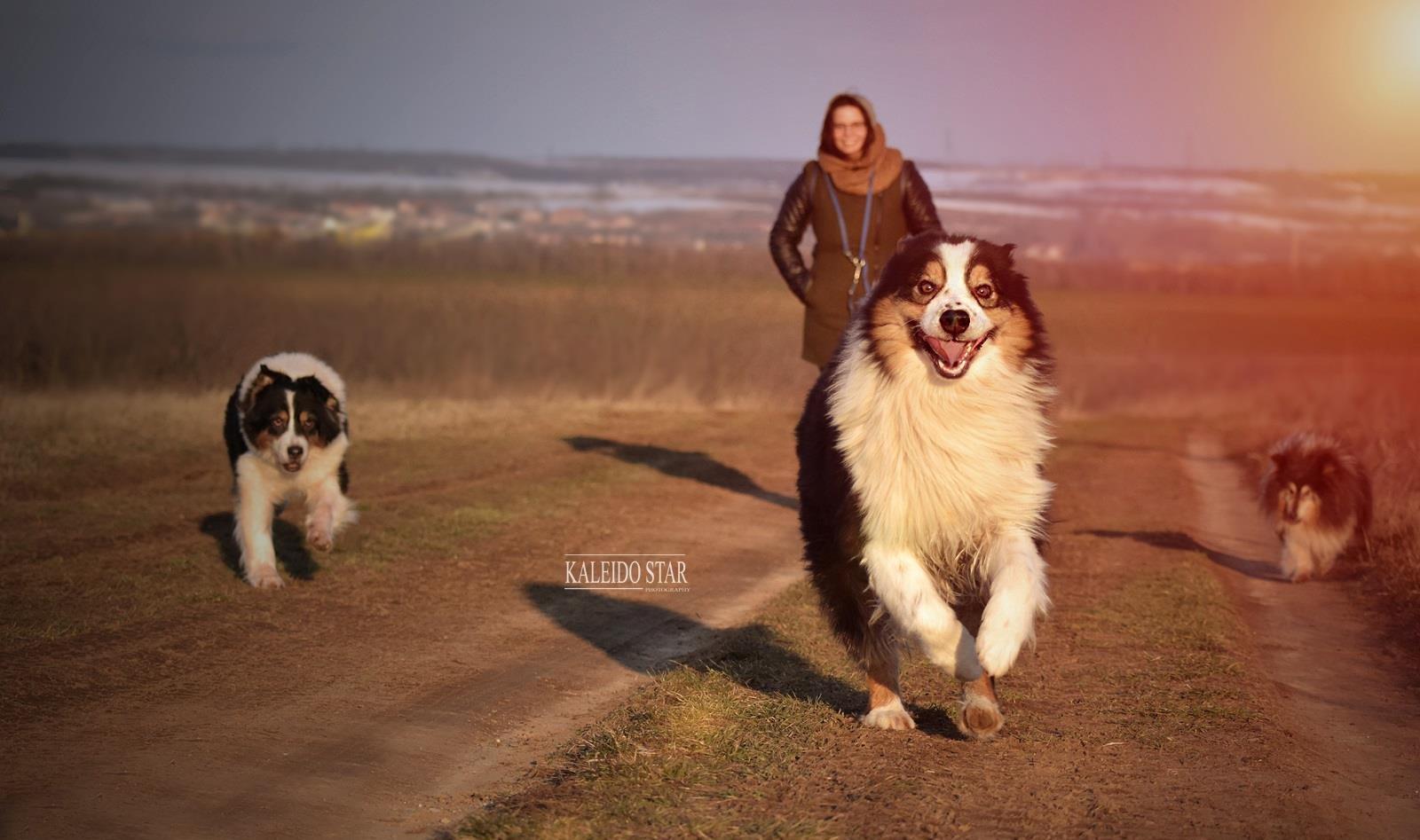 Ausztrál juhász és Sheltie sétál a gazdájukkal a mezőn