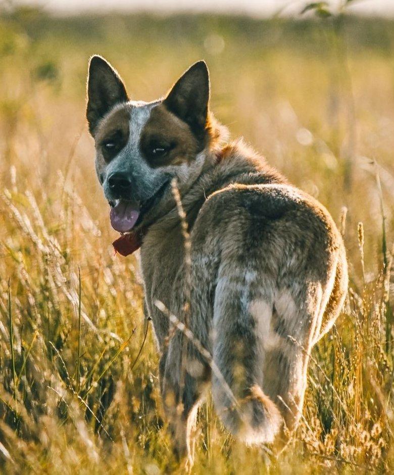 Ausztrál pásztor