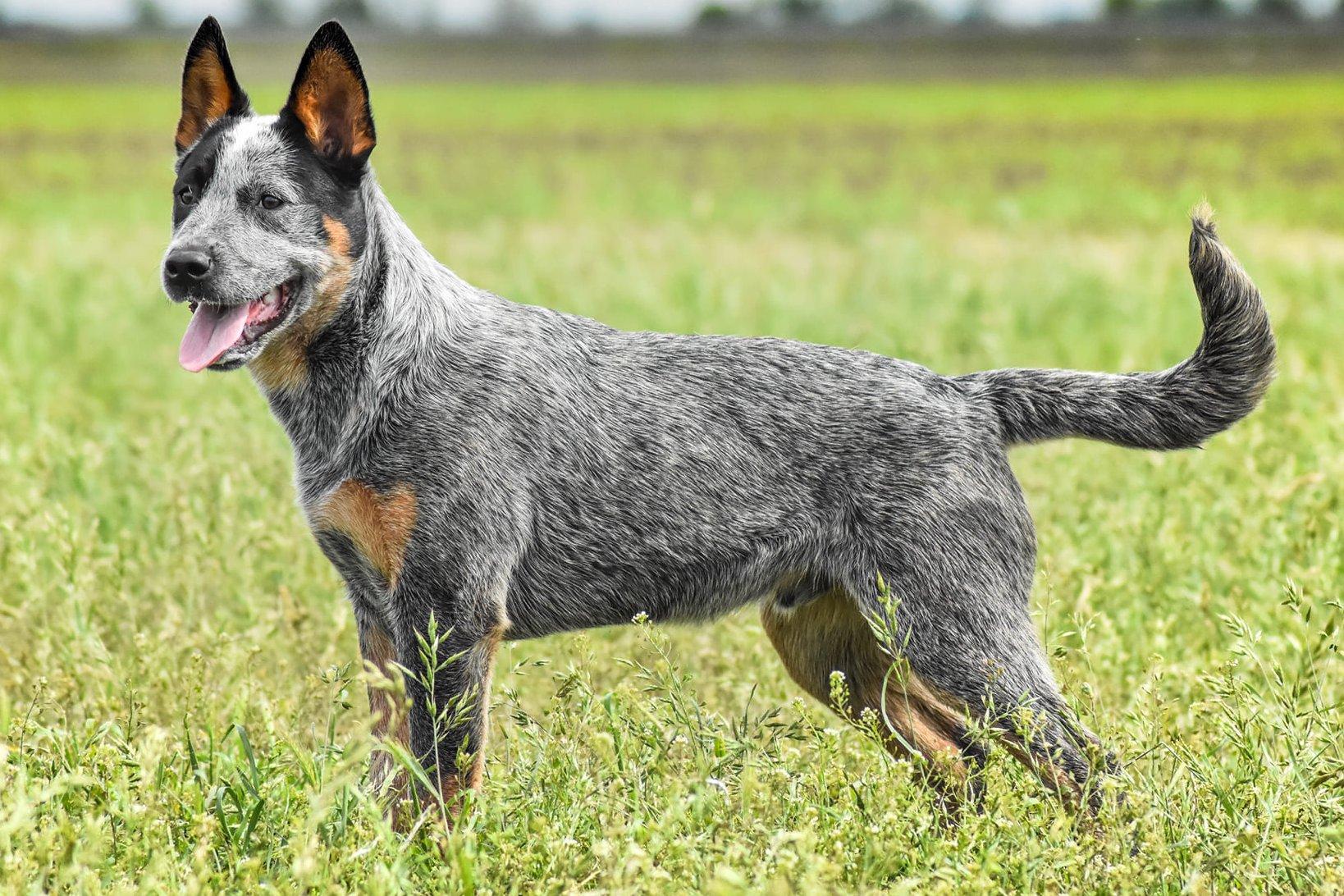 Ausztrál pásztor kutya