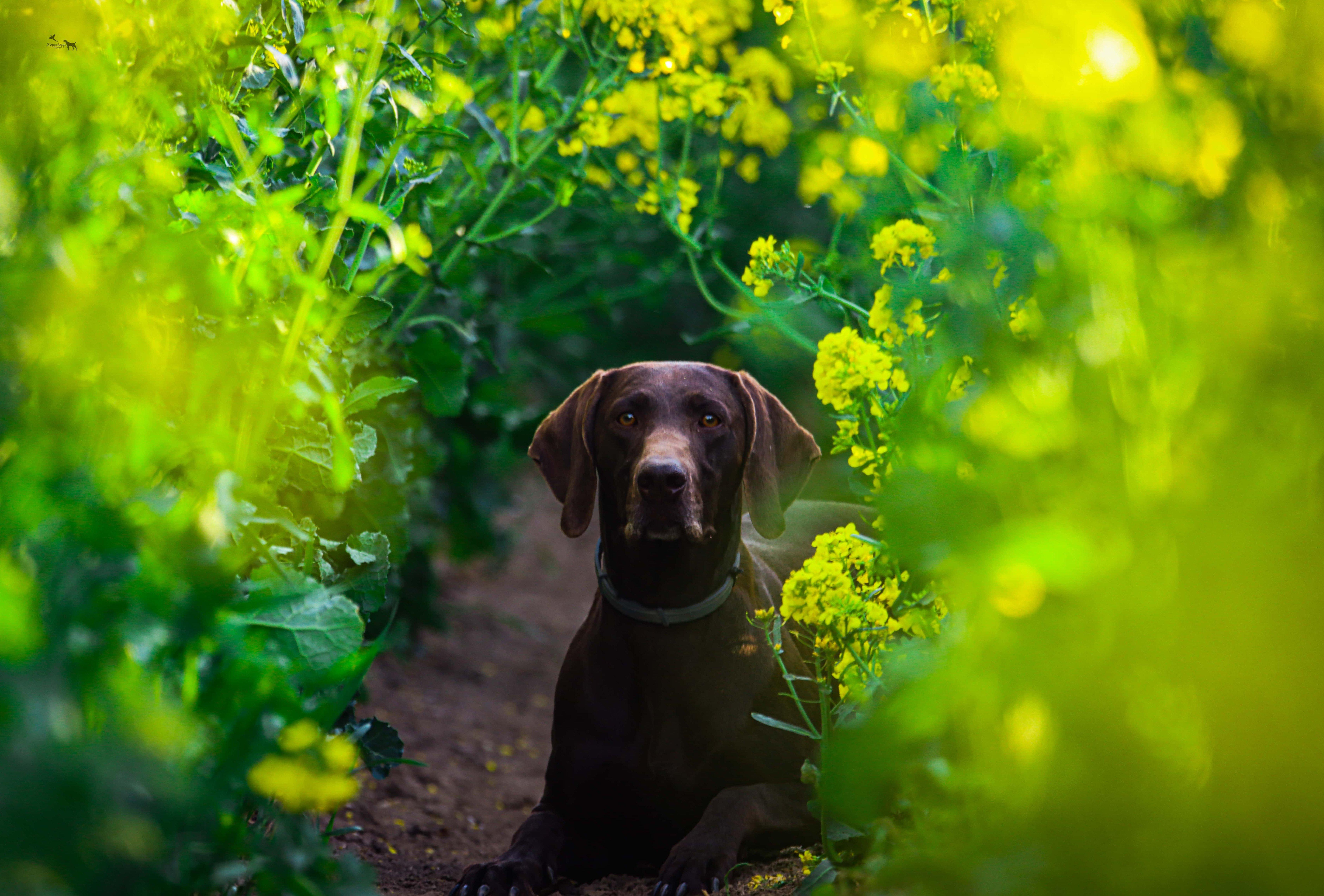 Barna kutya a virágos ösvényen