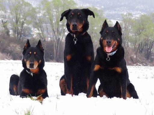 Fekete kutyák a hóban