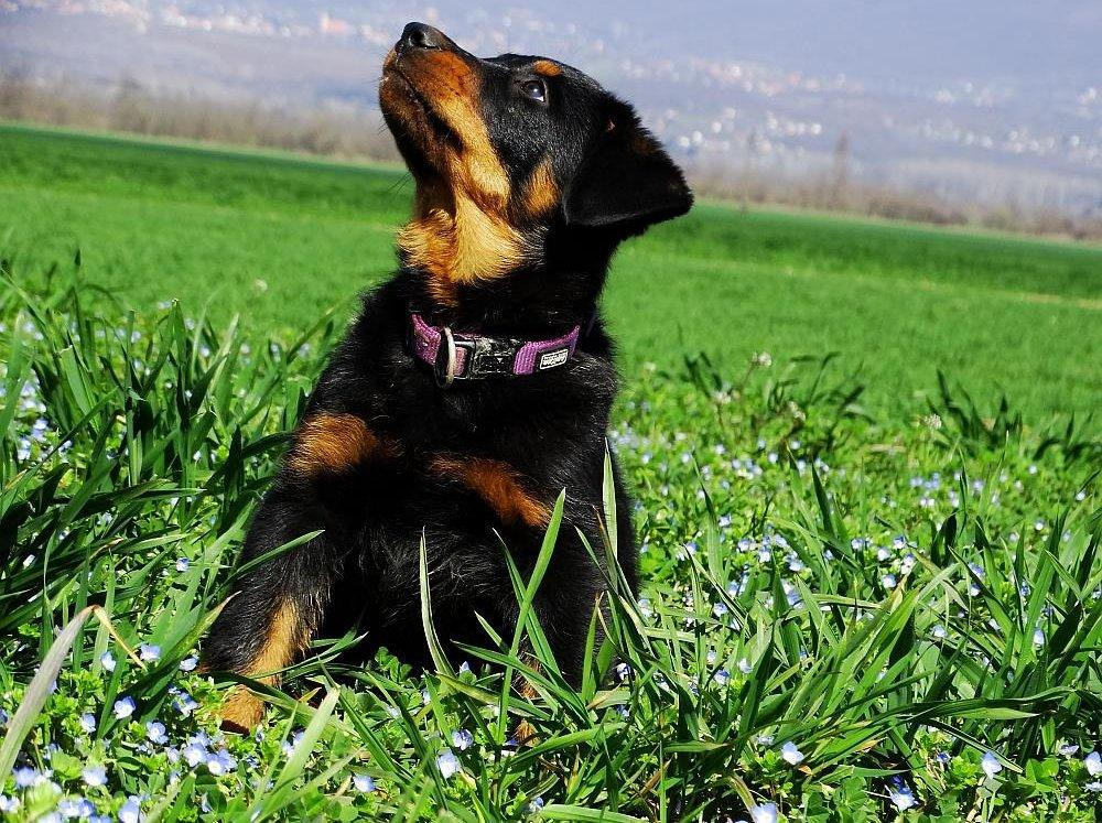 Kutyakölyök ül a fűben