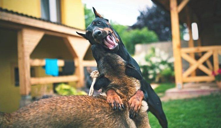Birkozó kutyák