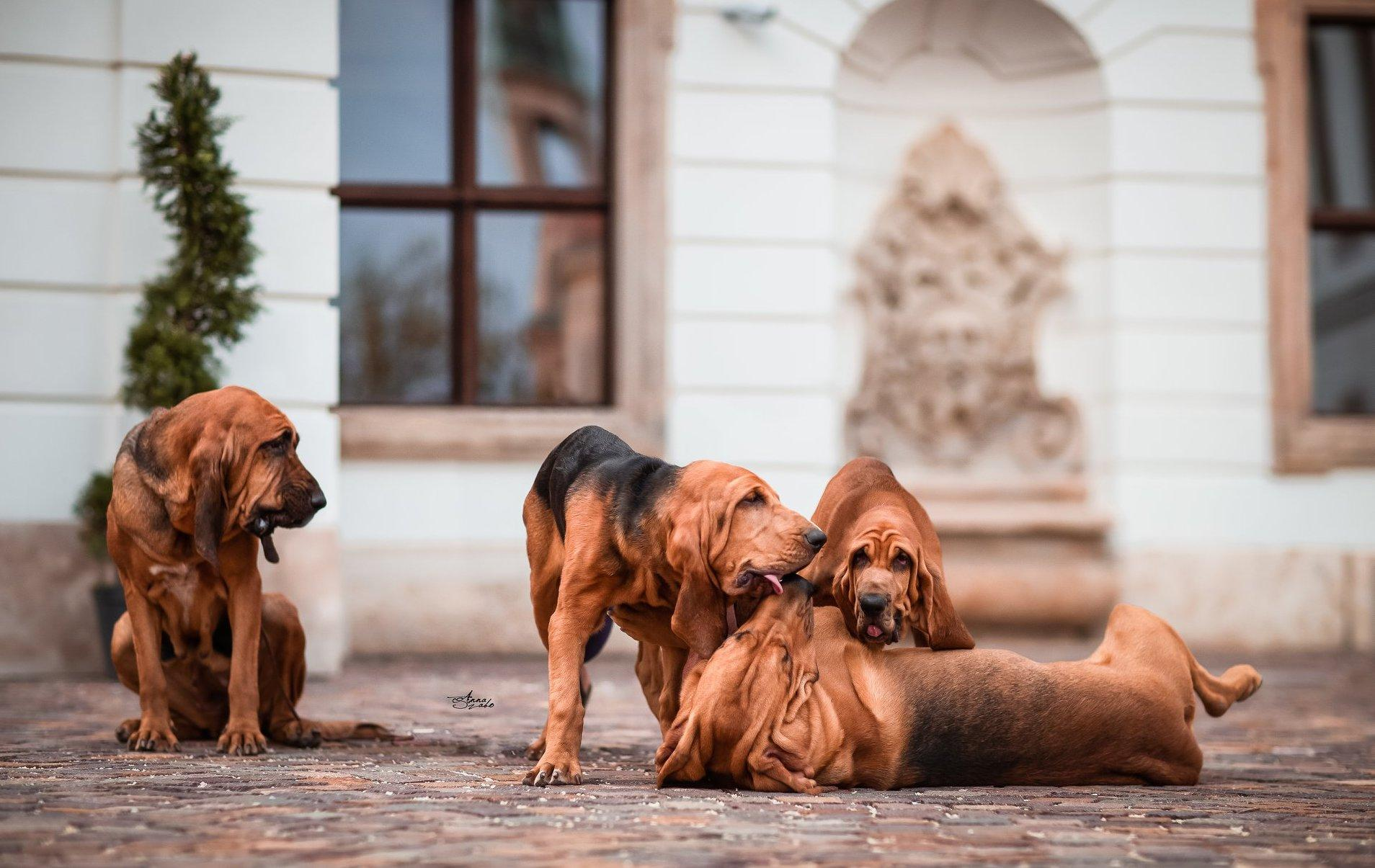 Birkózó kutyák
