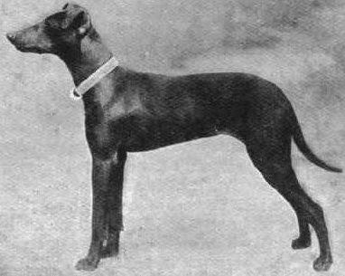 Angol fekete-cser terrier, forrás: alchetron.com