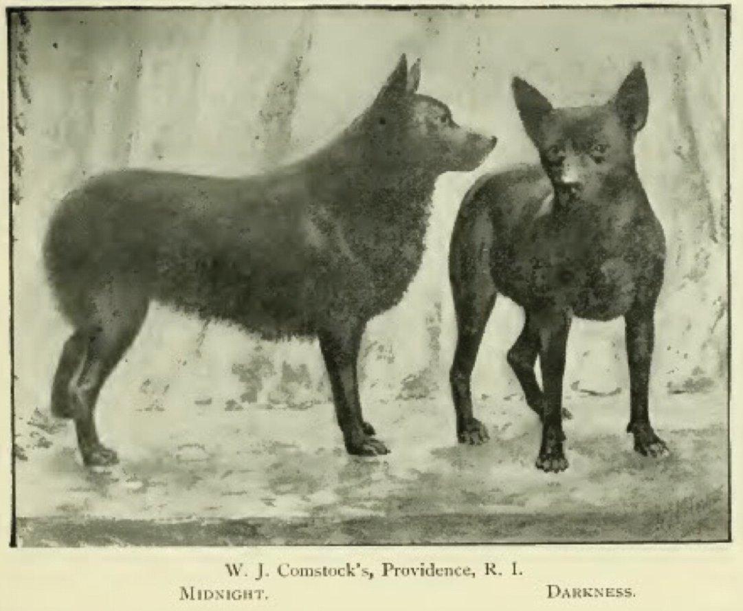 Schipperkék 1897-ből, forrás: blitzstanschipperke.wordpress.com