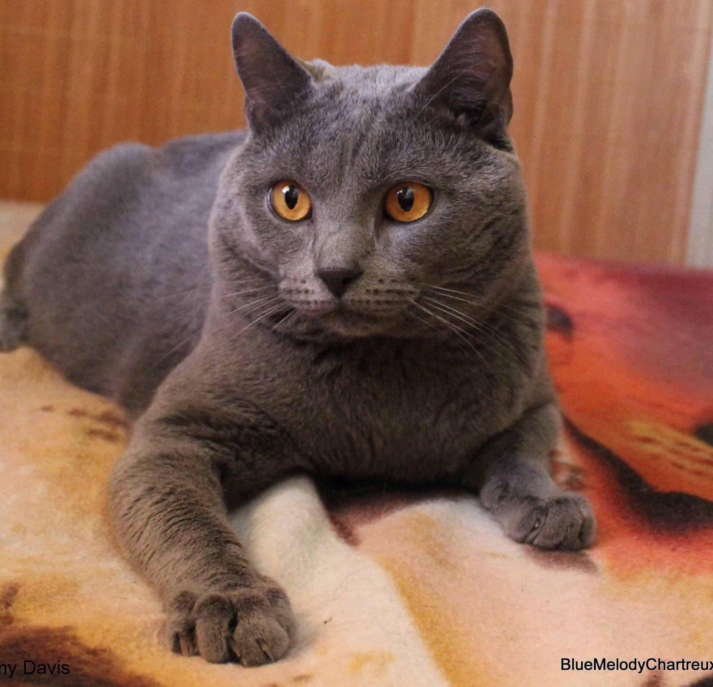 Karthauzi macska