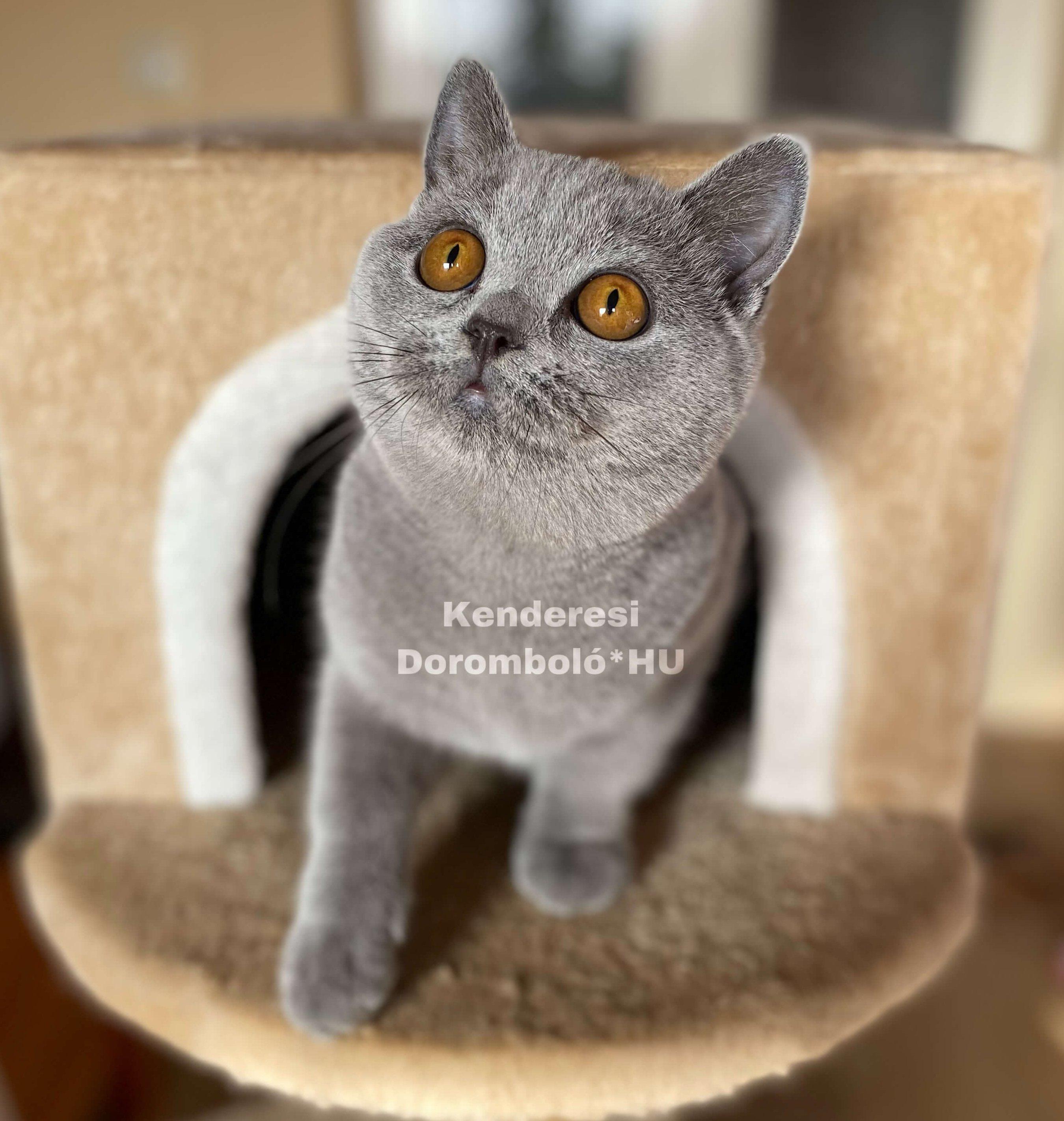 Kun Luca a Kenderesi Doromboló kennel tenyésztőjének Brit macskája