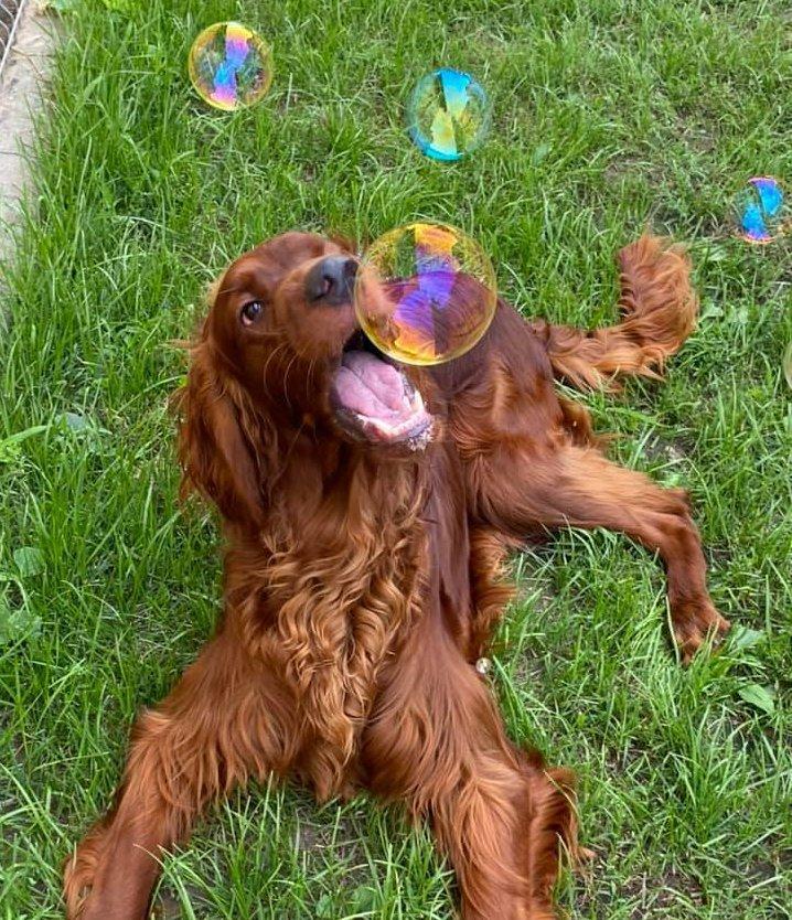 Buborékokkal játszó szetter